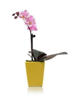 Pink mini orchid in lemon zest pot ice orchid, mini orchid, modern mini