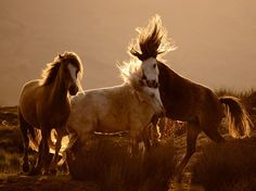 Google Image Result for http://images.nationalgeographic.com/wpf/media-live/photos/000/368/cache/horses-wales_36885_990x742.jpg