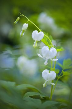 White Bleeding Hearts!