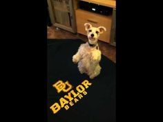 Wow... This dog learned to sic em! when it hears David Crowders Rise Up anthem for #Baylor Football. (Click to play video) #sicem