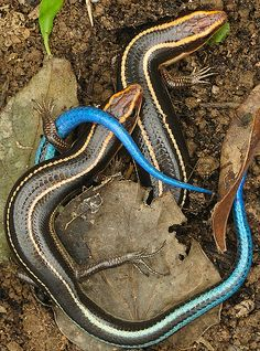 Hong Kong lizard Blue Tailed Skinks in Love in Hong Kong. Blue-tailed skink. 四石龍子 blue tail Eumeces quadrilineatus. by robferblue on Flickr.