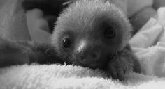 Sometimes its ok to be a little bit sloth =)) this baby sloth is way too cute! haha #sloth #cute #toocute #animals #babyanimals #funny #cuteanimals #baby