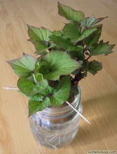 Growing sweet potato vines