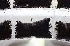 Grow seeds in a baseball card sleeve!