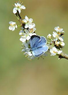 Holly Blue ( Celastrina argiolus )