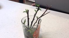 Starting Cherry Tree Cuttings in water with willow tree pieces! tree piec, fruit tree, tree cut