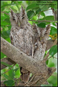 Pacific Screech Owl (Megascops cooperi) pair at roost. Photo by Glenn Bartley.
