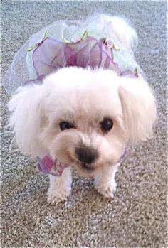 Dog Halloween Costume Contest: Princess Sophia