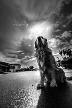 Golden Retriever by Photo Enigmatic