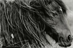 The Wild Horses of Sable Island    libertypostgallery.blogspot.com