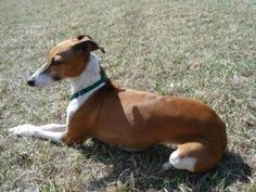 Sally is an adoptable Italian Greyhound Dog in Waterloo, IA.