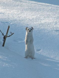 white weasel - reminds me of a certain biscuit-colored weasel that I know.