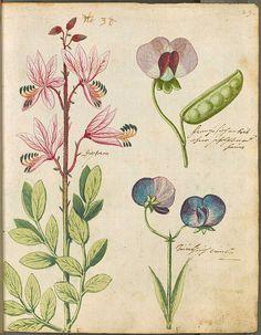 Clarines Hortulus Monheimensis #Botanical #Illustration #Print