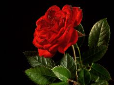 Image detail for -Red Rose Pictures