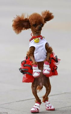 Check out this cute poodle.