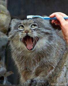 Happiest Pallas Cat Ever