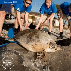 """Big Mama"" gets returned to the wild after SeaWorld helped her recover from a cold stun event! #365DaysOfRescue"
