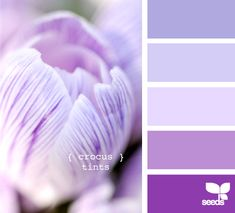 crocus tints