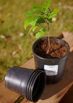 GROW OAK TREES FROM ACORNS