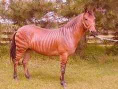 Cinnamon is a Zorse....her mama was a Zebra. She is a working cow pony!