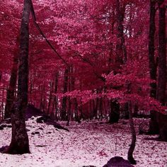 A walk in a pink dream forest..:-)