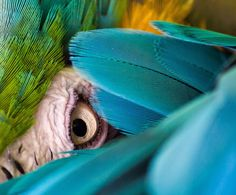 beauti bird, beauti anim, parrot, cornish, blue bird, blue and gold macaw, feather, blues, eye