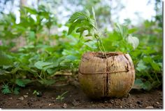 A coconut shell is an excellent, biodegradable planter. The coir (husk fibre) is extracted and mixed with soil to become a potting mix with particularly good water retention capacity (the fibre reduces evaporation).
