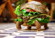 funny animals, burger, turtl, sandwich, pet, photo manipulation, slow food, funny wallpapers, fast foods