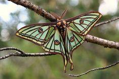 """Endangered European """"Isabella"""" moth!"""