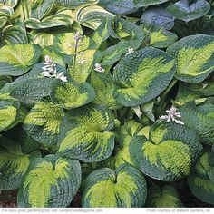 Hostas | Garden Gate eNotes 'Brother Stefan' is a moderate growing blue and chartreuse hosta. It has thick heart-shaped leaves that are highly corrugated. White flowers in late spring. Needs part shade and well-drained soil.