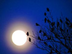 Crows and moonlight