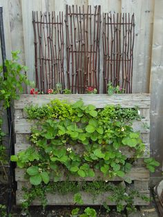 strawberry pallet with twigs in back ground