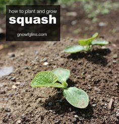 How to Plant and Grow Squash #gardening #diy #squash #gardeningtips  ♣  14.6.19
