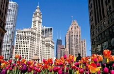 Tulips blooming in Chicago