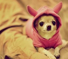 chihuahuas..best things ever!
