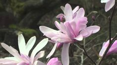 Fast Growing Magnolia Jane
