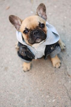 frenchie puppy, cute french bulldog puppy, french bulldogs, puppies french bulldog, jean jackets, puppi dog, leather jackets, sebastian, french bulldog and guys