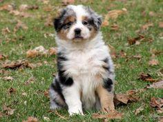 Fluffy Aussie pup