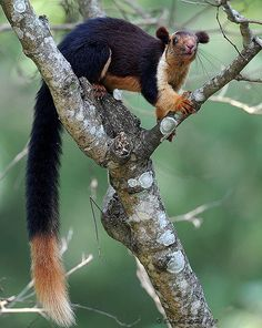 Indian giant squirrel  #squirrel