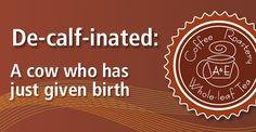 De-calf-inated: A cow who has just given birth | A & E Coffee Roastery & Tea | www.aeroastery.com