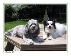 Malti-Poo & Pappilion 'cousins' in NJ ... by JhC #Dog #Pet
