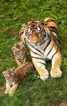 Amur ~ Tiger Mom & Cubs