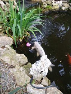 beauti pond, koi pond, fish pond