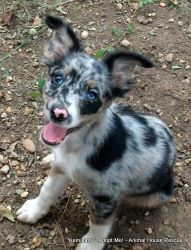Kamikaze BlueMarbleEyes is an adoptable Shetland Sheepdog Sheltie Dog in Hartford, CT. Kamikaze is a gorgeous blue merle puppy with blue cracked glass marble eyes (meaning they have flecks of differen...