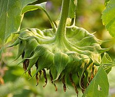 How to harvest, save and roast sunflower seeds