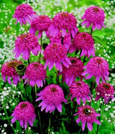 Echinacea purpurea 'Razzmatazz'. This first-ever double coneflower boasts showy pink pompoms framed by deep magenta daisy petals. The fragrant 4-inch blooms on this reliable perennial are borne on long, sturdy stems and will last two weeks in a vase. Grows 35 inches tall and 18 to 24 inches wide. USDA Zones 3-9.