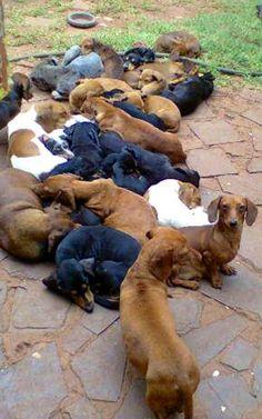 ❤  Wow.   So many doxies, #dachshund