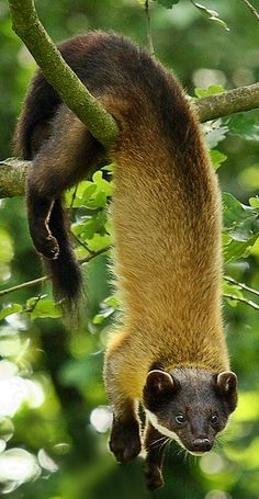 The yellow-throated marten (Martes flavigula) is a relatively widely distributed species of marten. Martens are omnivorous animals related to wolverines, minks, badgers, & ferrets.