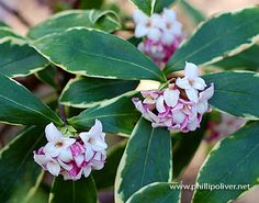 Love the scent of daphne
