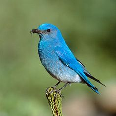 Image detail for -California Birds: Bluebirds